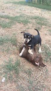 Working dog puppies Cobram Moira Area Preview