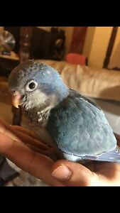 Hand raised baby blue quaker Lutwyche Brisbane North East Preview
