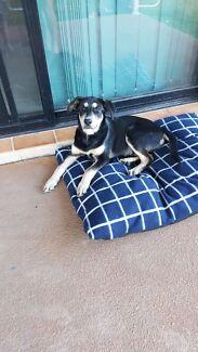 Mixed breed Labrador  x Golden retriever x husky Urraween Fraser Coast Preview