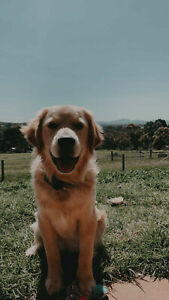 Pure bred Golden Retriever puppy