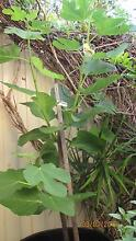FIG TREE. White Adriatic.6 FT high, Side Branches.$60 Westminster Stirling Area Preview