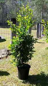 Lilly pilly resilience 250mm pots Buccan Logan Area Preview