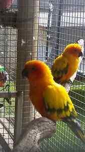 Sun Conure breeding pair Mount Nasura Armadale Area Preview
