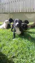 Staffy pups ready 16/07/16 Buddina Maroochydore Area Preview