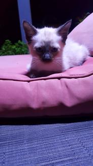 Siamese x ragdoll kitten