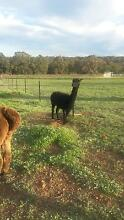 TWO FEMALE ALPACAS FOR SALE Lower Chittering Chittering Area Preview