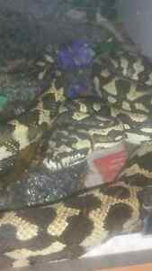Snakes 2 jungle breeding pair Laidley Lockyer Valley Preview