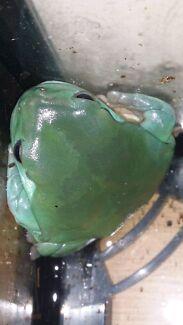 Green tree frog  Yangebup Cockburn Area Preview
