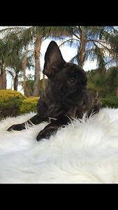 Pure Breed French Bulldog Puppy Adelaide CBD Adelaide City Preview