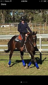 Quality Reg QH Mare (Imp NZ) 5 Years 15hh Kureelpa Maroochydore Area Preview