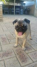 Pug fawn puppy 5 months old Peron Rockingham Area Preview