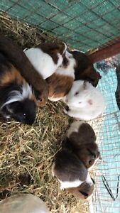 8 Guinea pigs