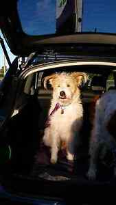 Terrier cross looking for a farm or huge block! Cleveland Redland Area Preview