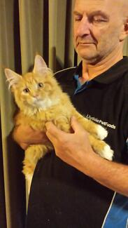Maine Coon kittens with registered pedigree papers