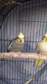 Breeding pair of cockatiel Tullamarine Hume Area Preview
