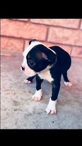 Boston terrier (BLUE EYE)