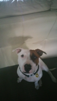 Wanted: Missing staffy x bull terrior