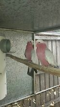 Breeding pair of Eastern (White Crested Galahs) READY TO BREED!!! Shellharbour Shellharbour Area Preview