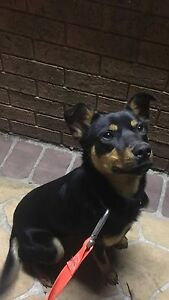 KELPIE FREE TO A GOOD HOME Epping Whittlesea Area Preview