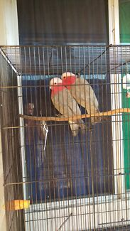 Galahs for sale Ruse Campbelltown Area Preview
