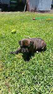 Pure bred english staffy puppies. Gympie Gympie Area Preview