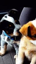 Wanted: Red or Blue Heeler Pup Melbourne CBD Melbourne City Preview