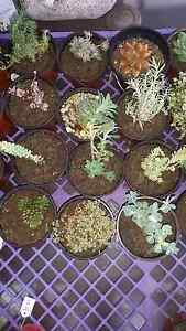 Succulents @ $5.80 collection/ post ($9)/ or Saturday Delivery Armidale Armidale City Preview