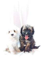Bichoodle pups, bichon x poodle, poochon Armidale Armidale City Preview