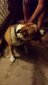 Found staffy Yanchep Wanneroo Area Preview