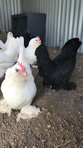Chickens Belgian d'Uccle