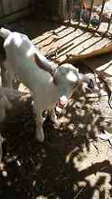 Purebreed Saanen male goat kid bottlefed 3 times a day 1 wks old Adelaide CBD Adelaide City Preview