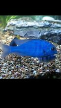 Blue dolphin Cichlid for sale Liverpool Liverpool Area Preview