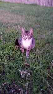 Desexed female cat full of life and loving to bits. Raymond Terrace Port Stephens Area Preview