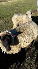 black face suffolk  ewes Kurrajong Hawkesbury Area Preview