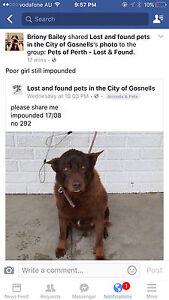 Found Dog in Gosnell pound - please call the pound Currambine Joondalup Area Preview