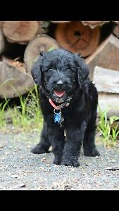 Multi Generational Labradoodles Pups Beaudesert Ipswich South Preview