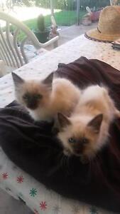 Birman kittens Buchfelde Gawler Area Preview