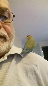 Birds for sale  lovebird handraised North Ipswich Ipswich City Preview