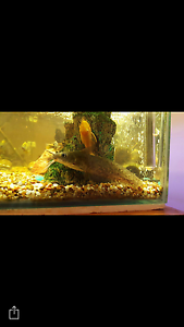 EEL TAILED CATFISH Cabramatta West Fairfield Area Preview