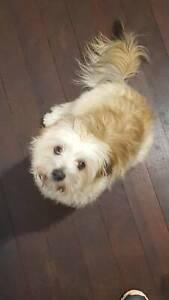 Maltese x Shih tzu Female puppy