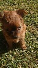 Chihuahua male long hair pup Rooty Hill Blacktown Area Preview