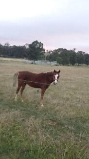 horse for sale Dungog Dungog Area Preview