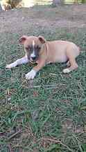 American Staffy Pups Burpengary Caboolture Area Preview