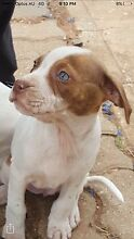 American staffy pups Elizabeth Vale Playford Area Preview