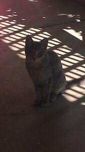 2x 10 Month Old Kittens  (Regretful sale) Mount Warren Park Logan Area Preview