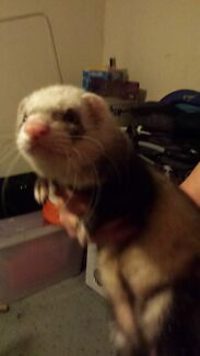 2 adorable ferrets  Kambah Tuggeranong Preview