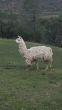 Free Alpaca Dromedary Brighton Area Preview