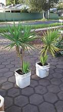 Yacca's 2 off $20 each Broadview Port Adelaide Area Preview