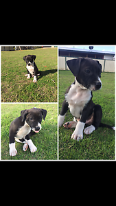Puppy for sale boy Stanthorpe Southern Downs Preview
