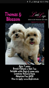 Maltese x Shih tzu- gorgeous bonded pair Victoria Point Redland Area Preview